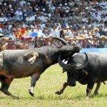 buffalo fighting do son