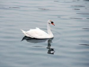 Tam Bac river Hai Phong has 20 pairs of swans